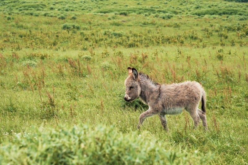 Портрет красивого пушистого ишака, asinus Equus, в середине зеленого луга На солнечном утре стоковая фотография rf