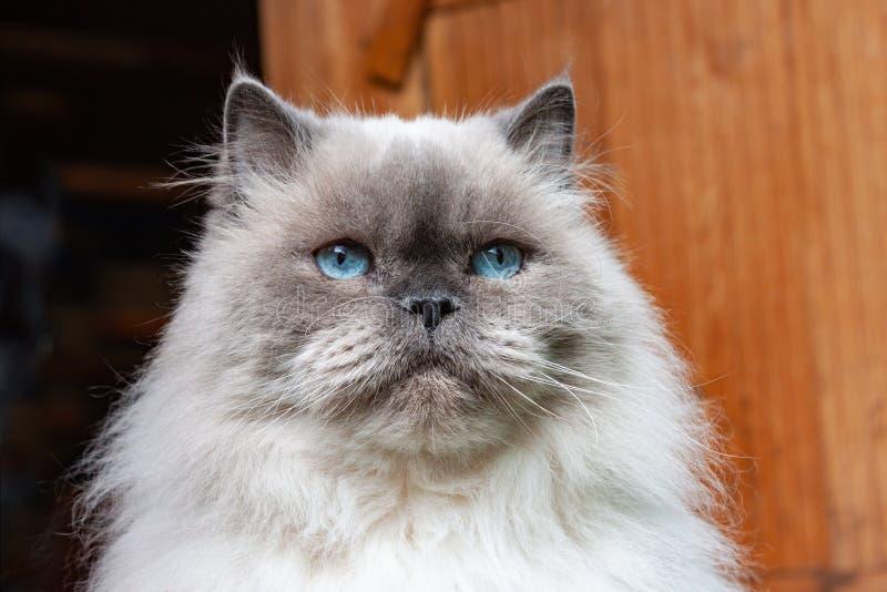 Портрет красивого пушистого кота с голубыми глазами стоковые изображения rf