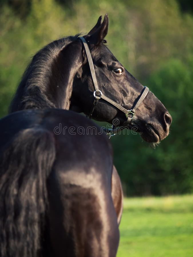 Портрет красивого черного жеребца породы задний взгляд Лето стоковая фотография