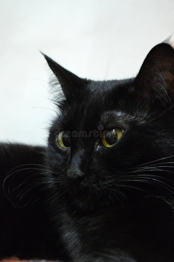 Портрет красивого черного кота с яркими желтыми глазами против белой стены стоковые изображения