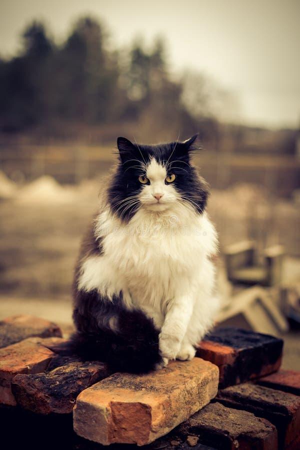 Портрет красивого черно-белого сельского кота стоковое изображение