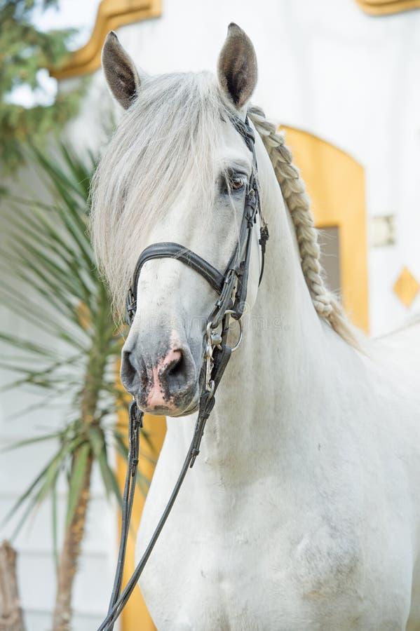 Портрет красивого чистоплеменного PRE жеребца в уздечке dressage анданте Испания стоковая фотография rf