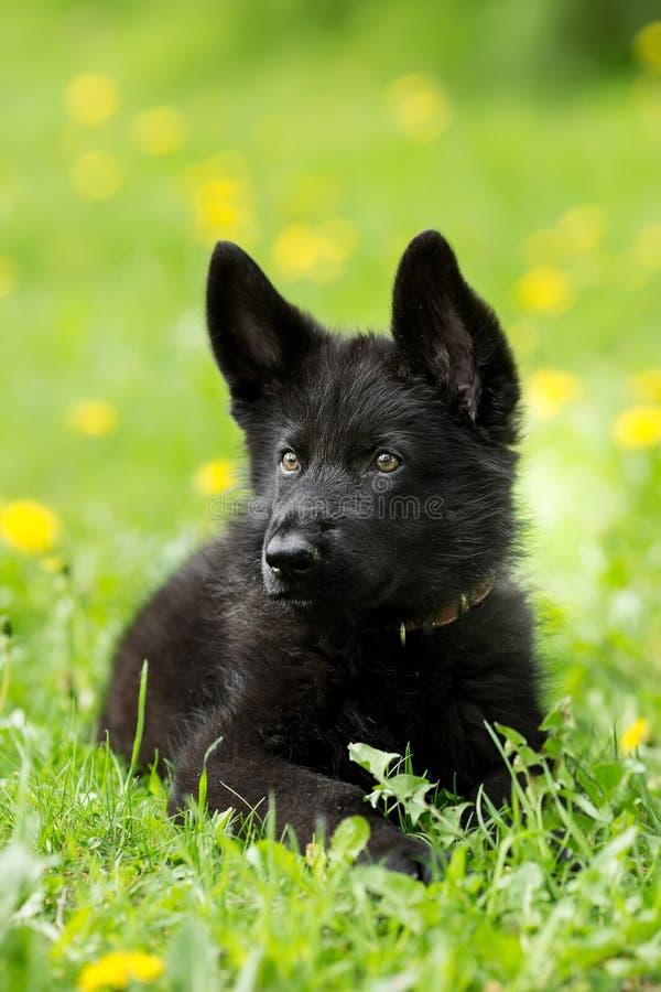 Портрет красивого щенка немецкой овчарки черного цвета L стоковые изображения