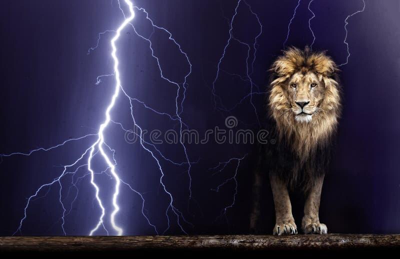 Портрет красивого льва, льва и молнии стоковые изображения rf