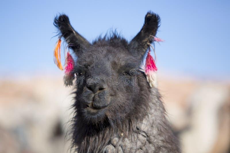 Портрет красивой ламы, Боливии стоковая фотография