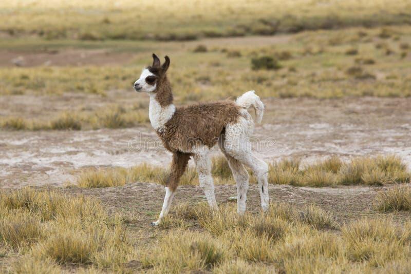 Портрет красивой ламы младенца, Боливии стоковые изображения rf