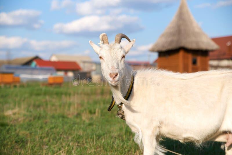 Портрет красивой белой козы с рожками, смотря камеру на предпосылке зеленой травы, дом с медом стоковые фото