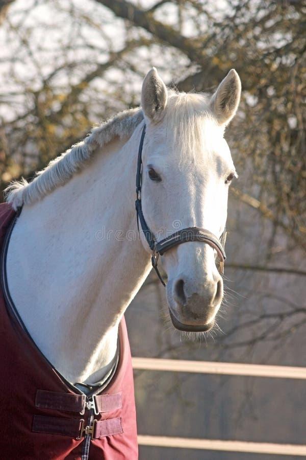 Портрет красивой белой лошади стоковая фотография