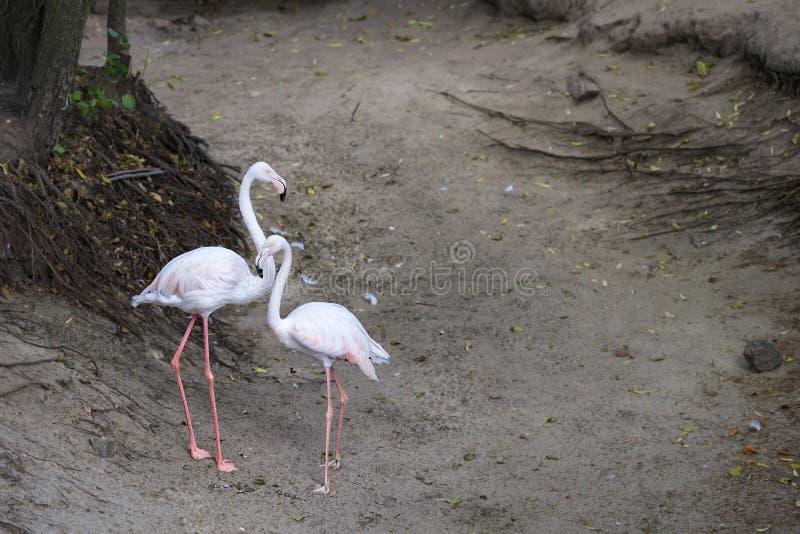Портрет красивой пары молодых розовых фламинго сравнивая с краем леса стоковое изображение