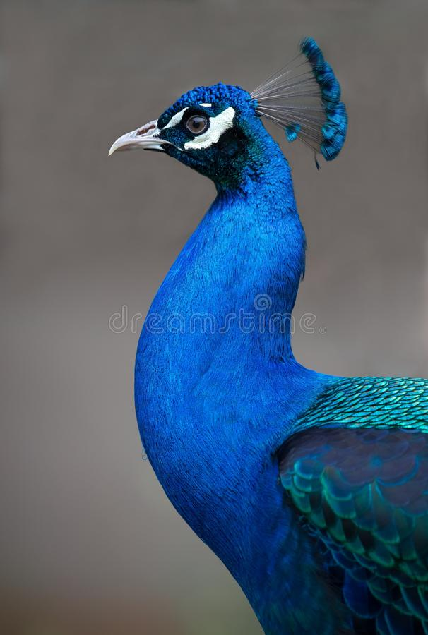 Портрет красивой птицы павлина стоковая фотография