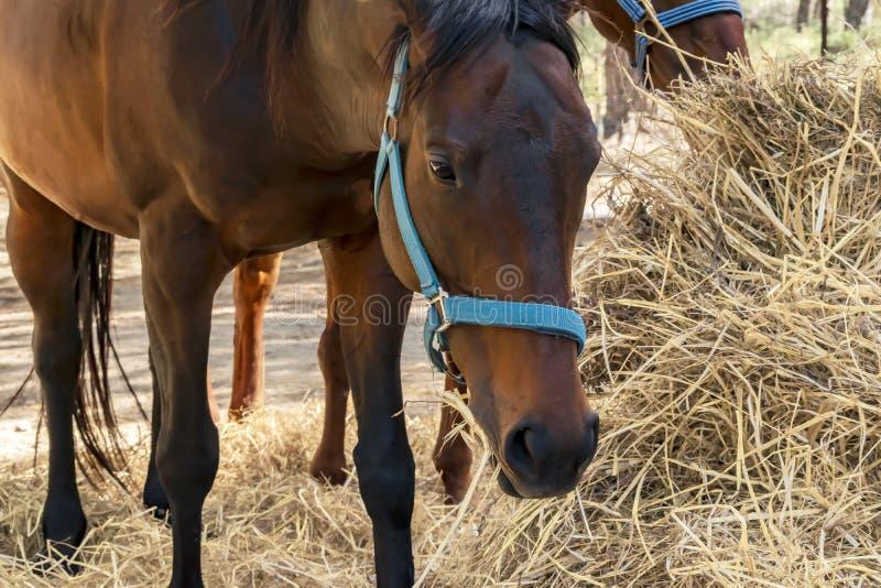 Портрет красивой разводя коричневой лошади есть сено Питаться верховых лошадей стоковые фотографии rf