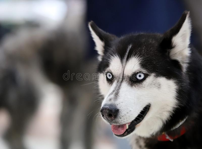 Портрет красивой собаки племенника стоковое фото