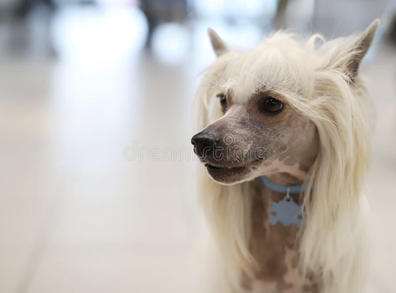 Портрет красивой собаки племенника стоковое изображение rf