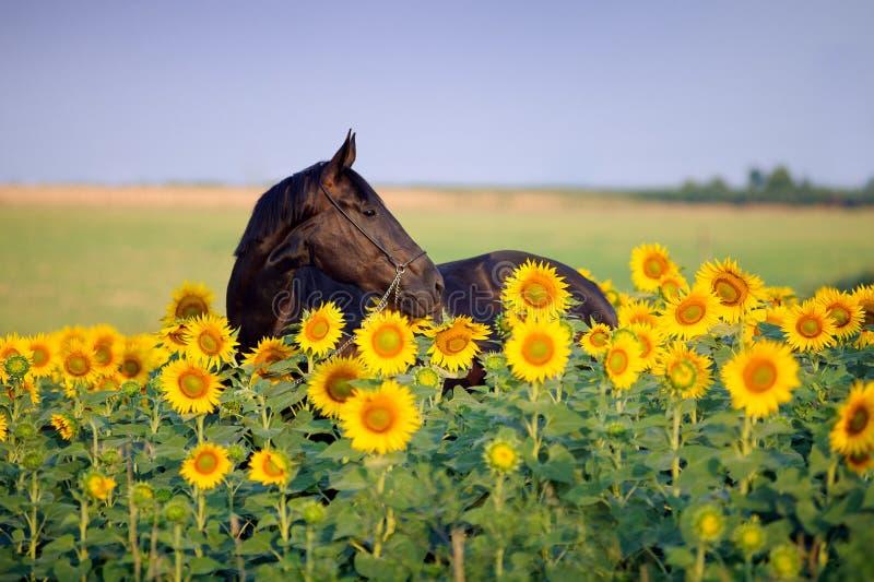 Портрет красивой черной лошади в цветке стоковые фотографии rf