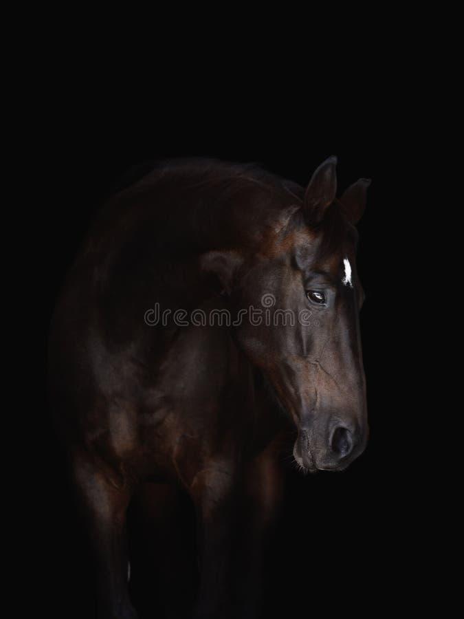 Портрет красивой штанишки, изолированной на черном фоне стоковая фотография