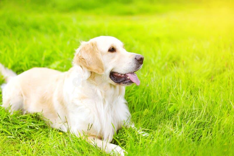 Портрет красивый лежать собаки золотого Retriever стоковое фото rf