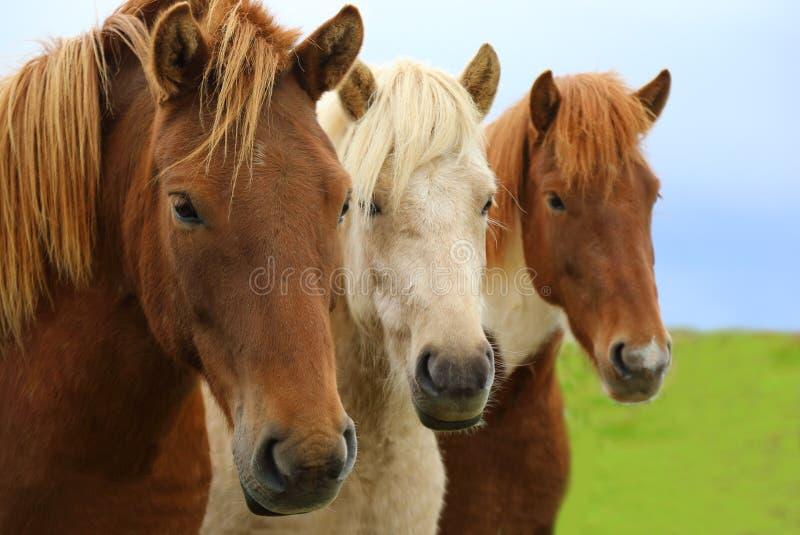 Портрет красивых исландских лошадей стоковое фото rf