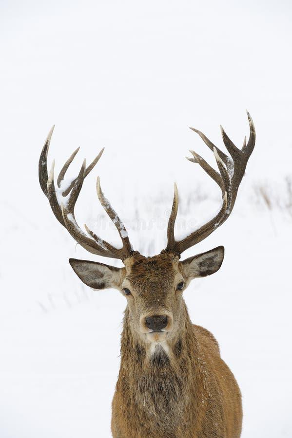 Портрет красных оленей стоковые изображения rf