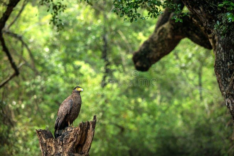 Портрет крещенного Серпента Орла взобрался на дереве в Национальном парке Вильпатту в Шри-Ланке, закрытое фото, экзотическая птиц стоковая фотография