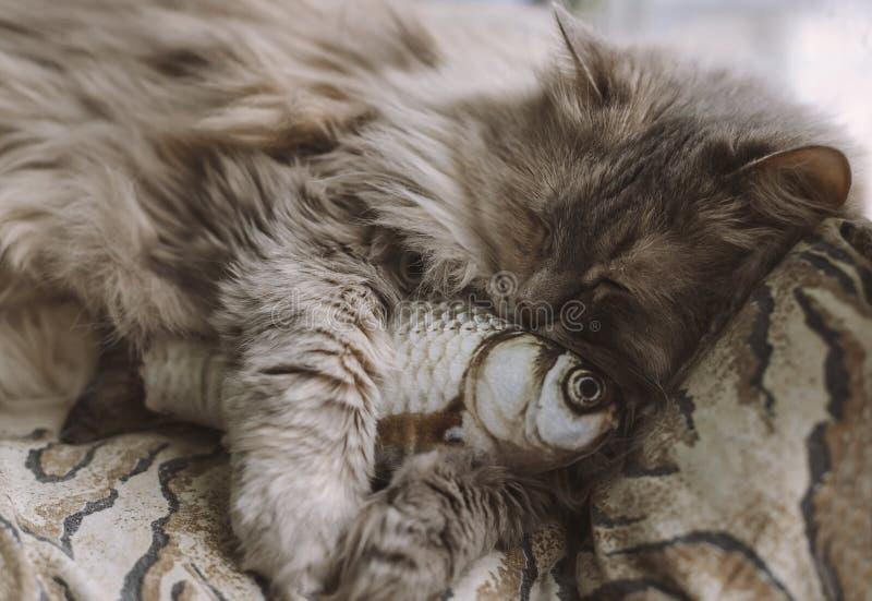 Портрет крупного плана домашней кошки милый спать серый Кот и рыбы стоковые изображения