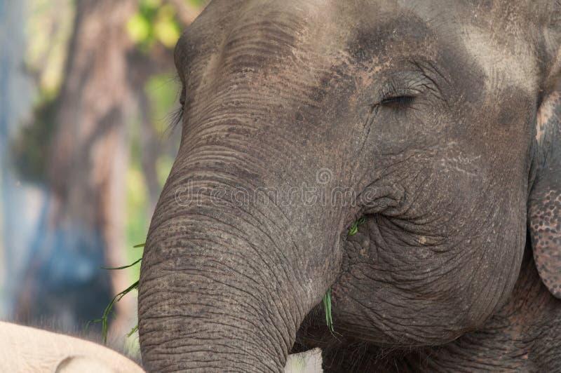 Портрет крупного плана слона стоковое фото rf