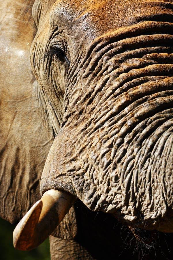 Портрет крупного плана быка слона стоковая фотография rf
