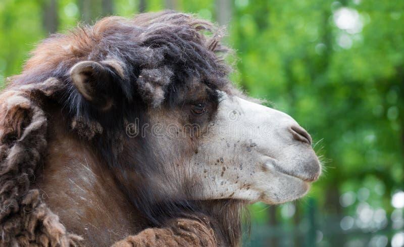 Портрет крупного плана верблюда стоковое фото