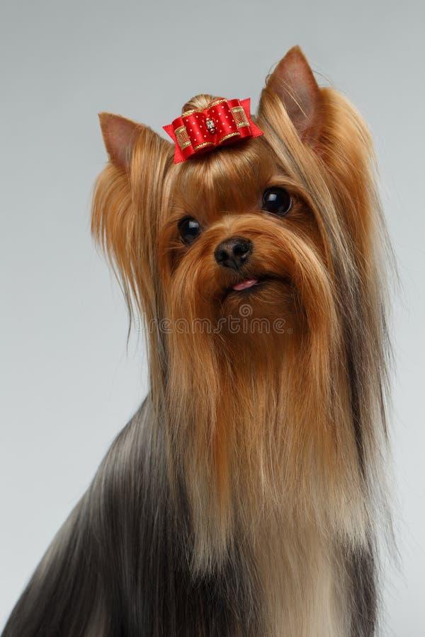 Портрет крупного плана счастливой собаки йоркширского терьера на белизне стоковые изображения rf