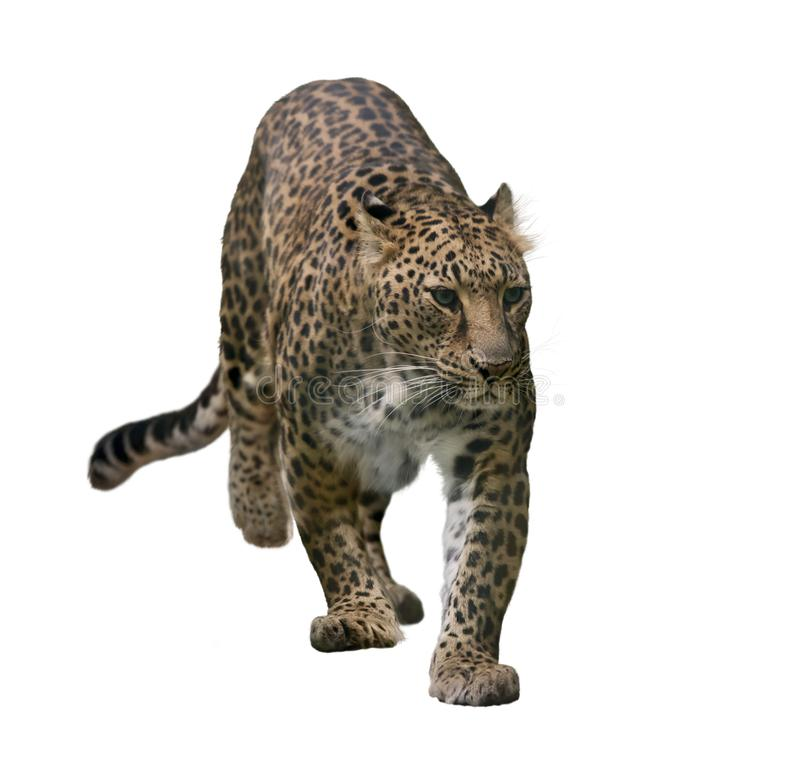 Портрет леопарда изолированный на белизне стоковые изображения rf