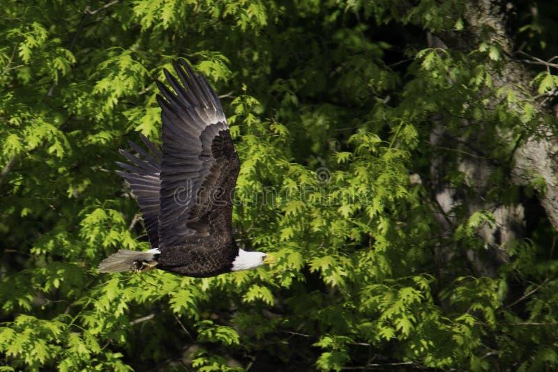 Портрет летания белоголового орлана стоковое изображение rf