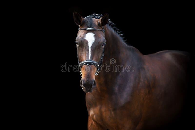 Портрет лошади на черноте стоковые изображения rf
