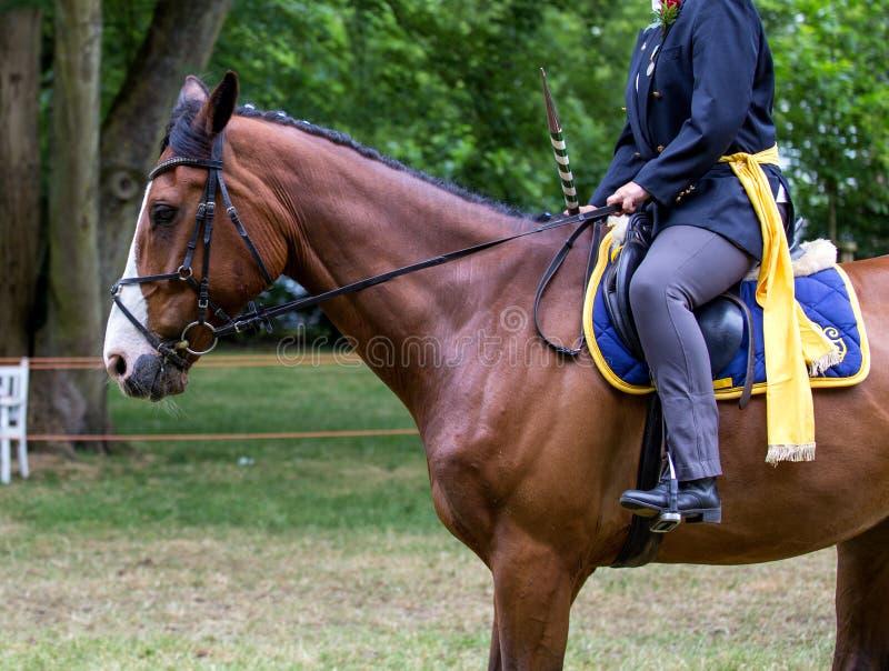 Портрет лошади спорта Брауна во время s стоковые фотографии rf