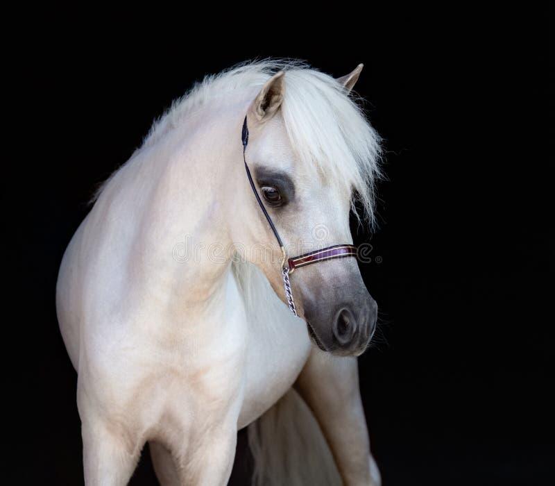 Портрет лошади palomino американской миниатюрной на черном backgroun стоковое фото rf