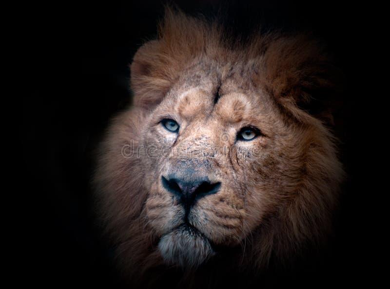 портрет льва стоковые изображения rf