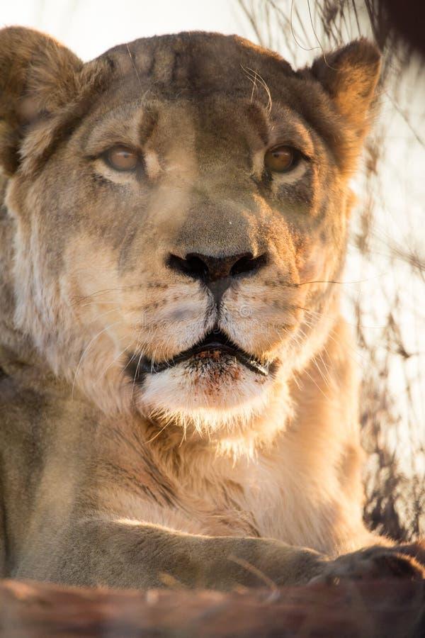 Портрет львицы, пустыня Kalahari, Намибия стоковая фотография