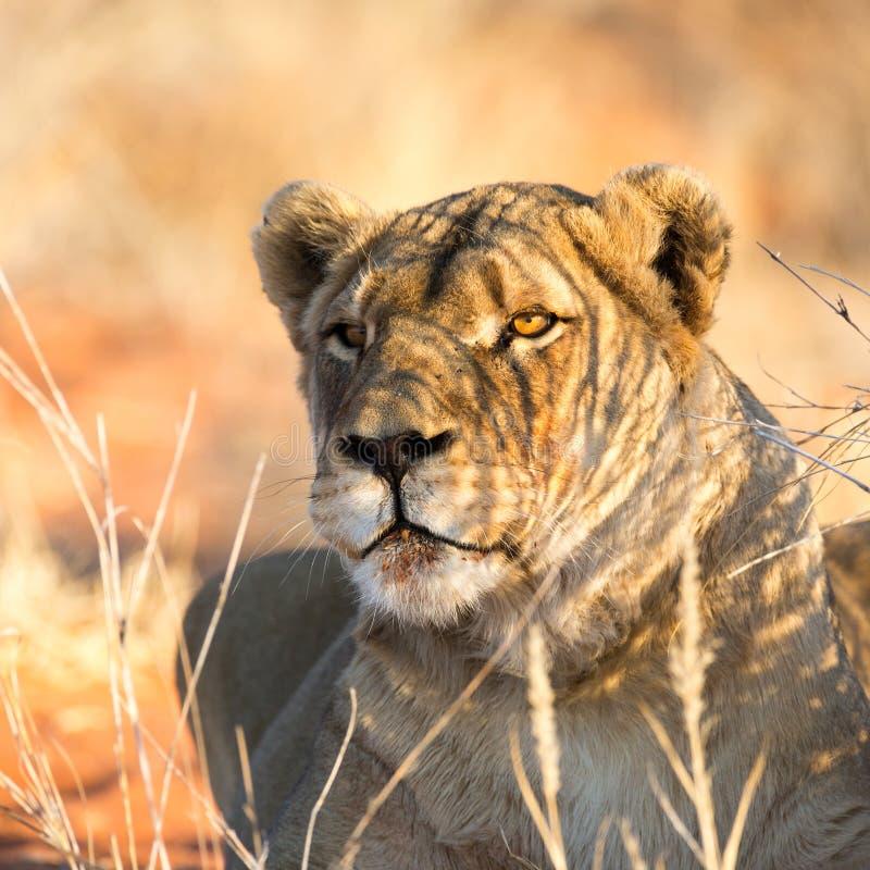 Портрет львицы, пустыня Kalahari, Намибия стоковое изображение rf