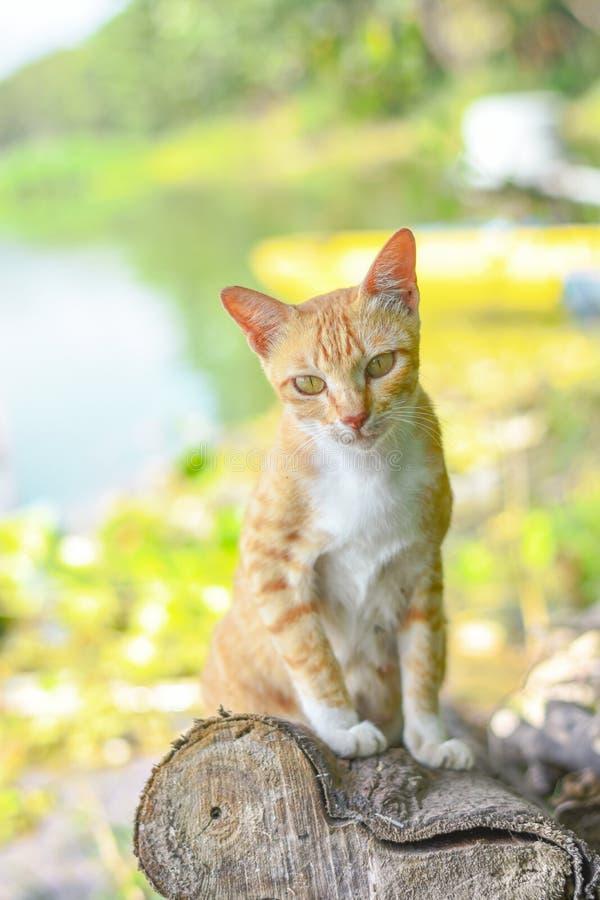 Портрет любопытное шотландского кота прямо изолированный на естественной предпосылке стоковые фотографии rf