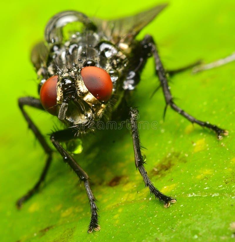 Портрет мухы комнатной стоковые фото