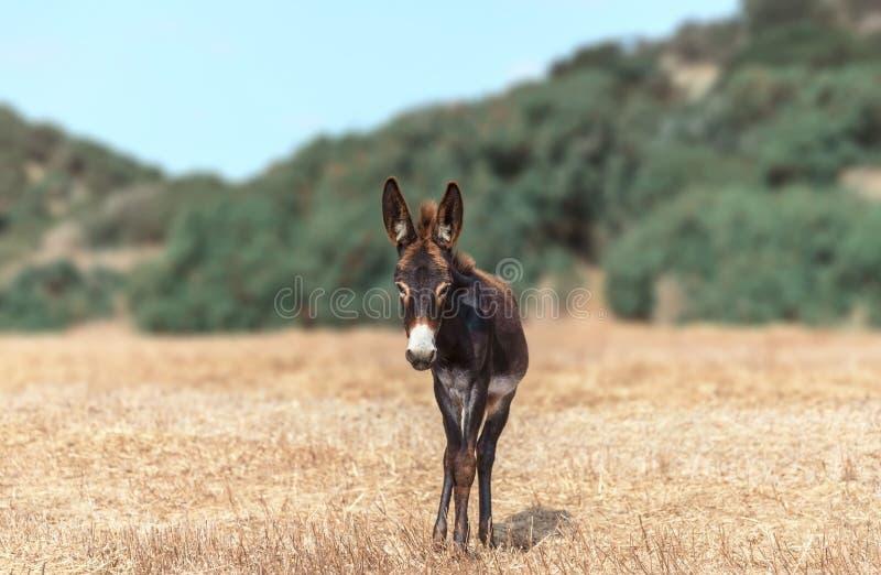 Портрет маленького осла, выпасшегося на поле на фоне гор Любопытное животное ищет стоковое фото