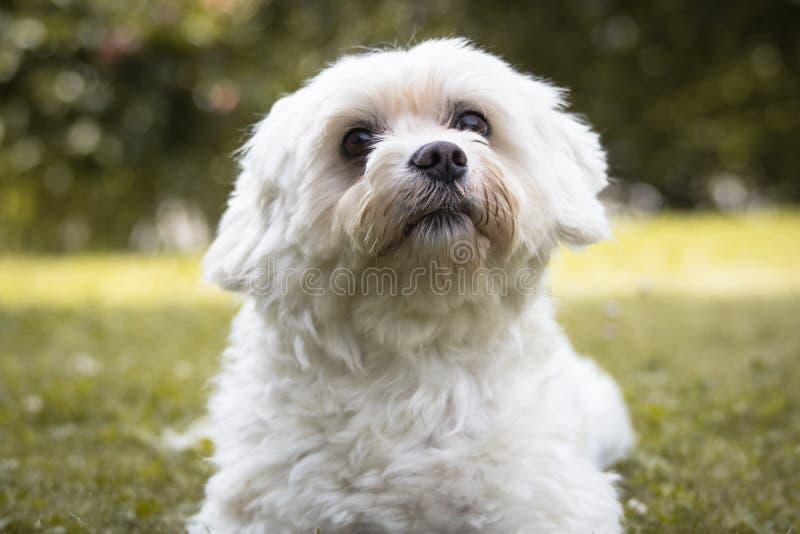 Портрет мальтийсной собаки смотря вверх просящ еда стоковая фотография rf
