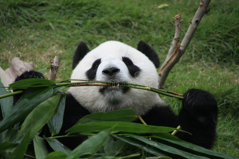 Портрет медведя гигантской панды есть бамбук стоковые фото