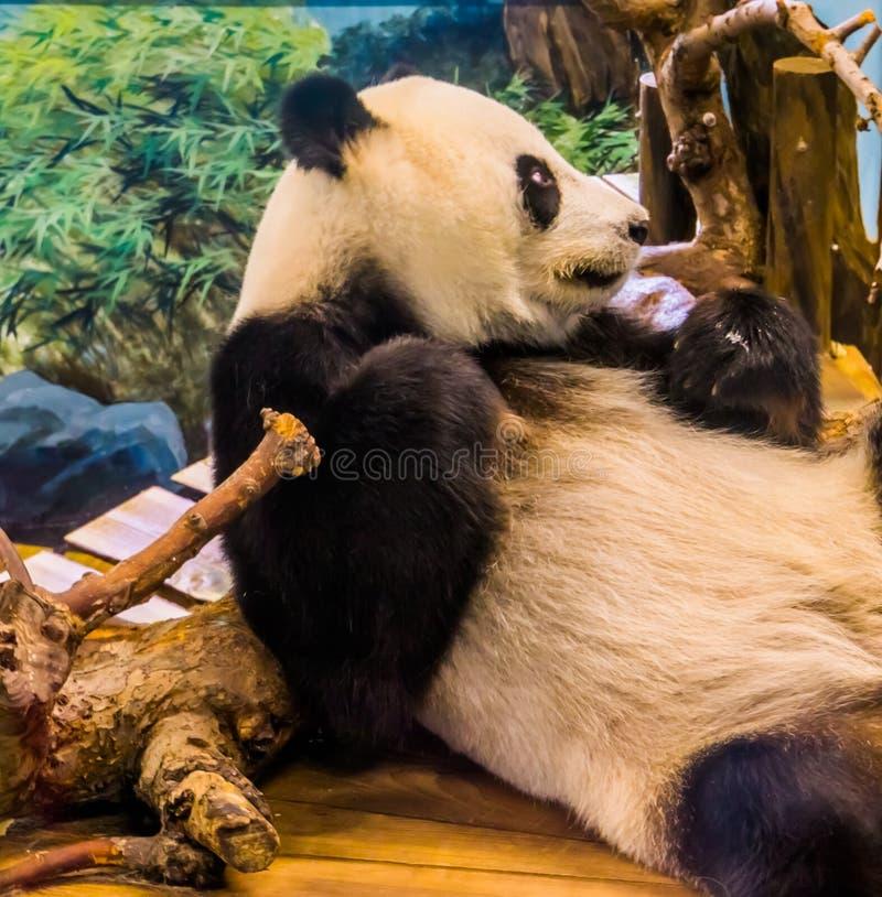 Портрет медведя гигантской панды ослабляя, уязвимый животный specie крупного плана от Азии стоковые фото