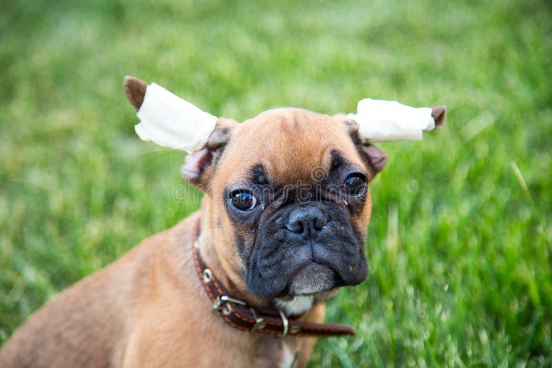 Портрет 3-месяц-старого щенка бульдога со спрашивая взглядом стоковое изображение