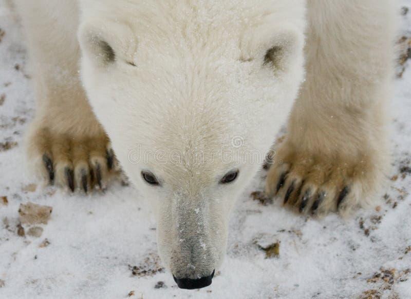 портрет медведя приполюсный Конец-вверх Канада стоковое изображение
