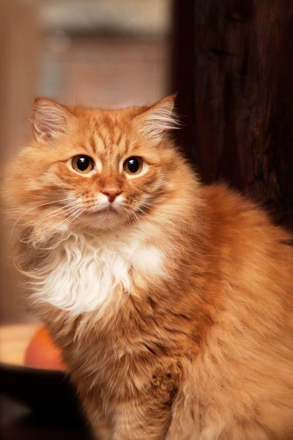Портрет милого длинн-с волосами красного сибирского кота с впечатляющим взглядом Животное в нашем доме стоковые фотографии rf