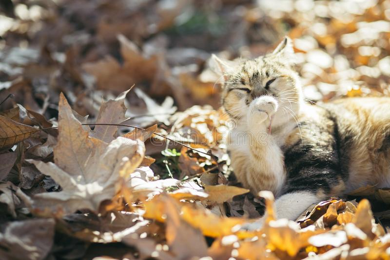 Портрет милого кота держа его лапку в воздухе и лижа для очищать на упаденных листьях в лесе осени стоковое изображение rf