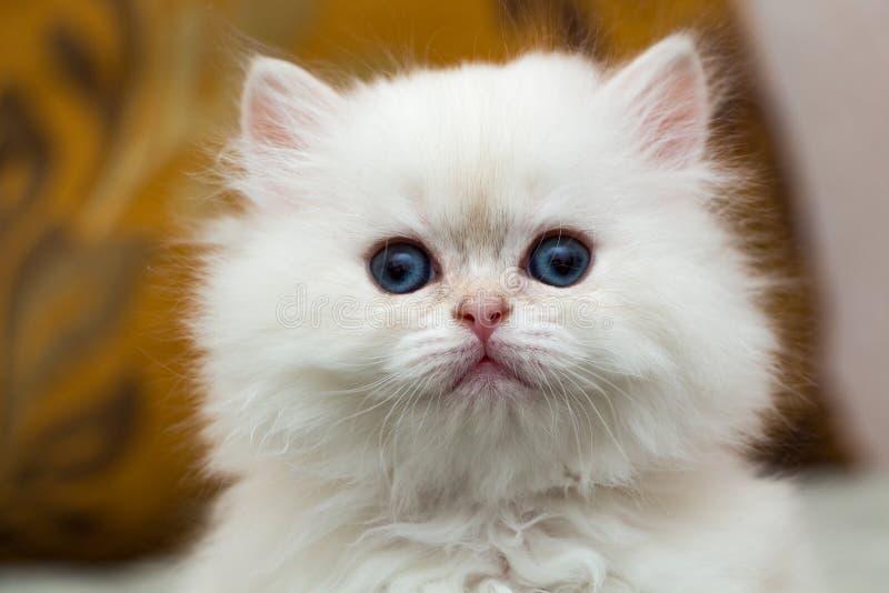 Портрет милого пушистого белого великобританского длинн-с волосами котенка стоковая фотография