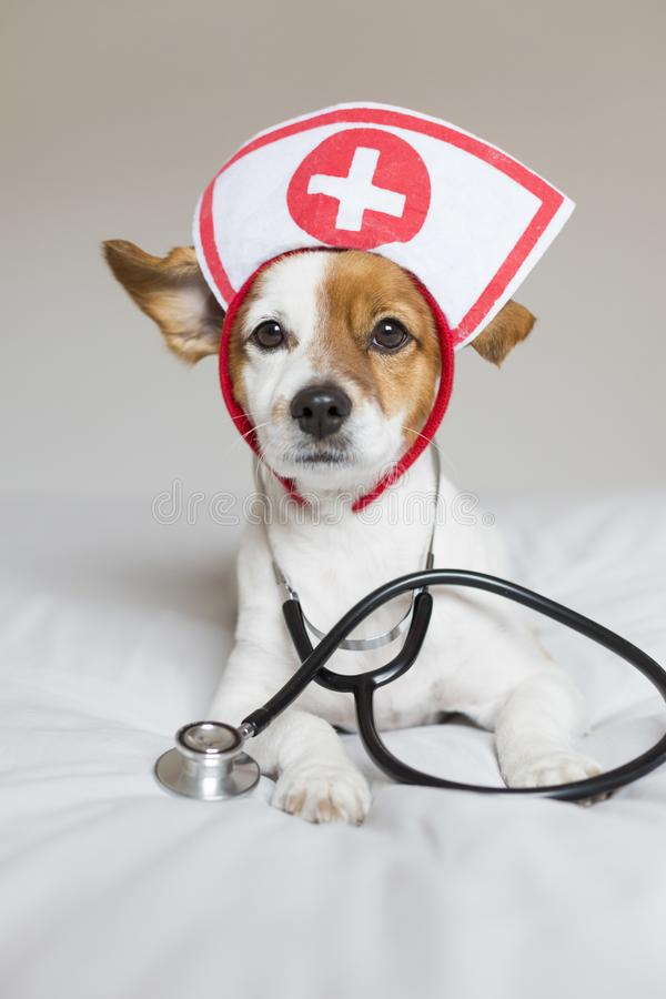 Портрет милой молодой небольшой собаки сидя на кровати Нося стетоскоп и стекла Он выглядит как доктор или ветеринар Домой, внутри стоковое изображение rf