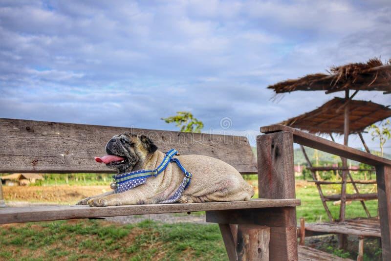 Портрет милой собаки мопса сидя на естественной деревянной предпосылке пола, красивая предпосылка взгляда неба стоковая фотография