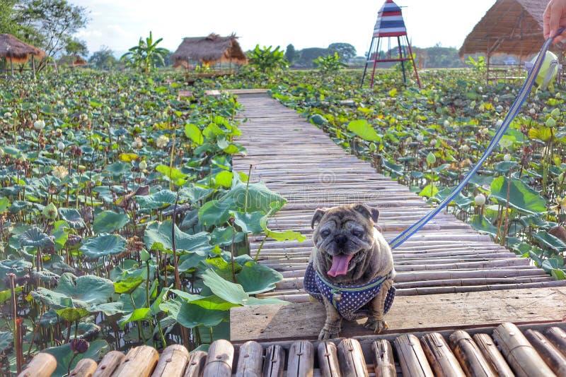 Портрет милой собаки мопса сидя на естественном бамбуковом поле на заднем плане Красивая предпосылка взгляда неба стоковые изображения rf